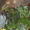succulents-growing-in-vertical-frame-UCBerk-Bot-Gard-2012-12-13-IMG 3057