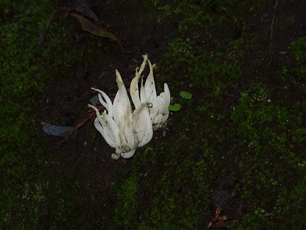 white-finger-like-fungus-in-leaf-litter-UCBerk-Bot-Gard-2012-12-13-IMG 2977