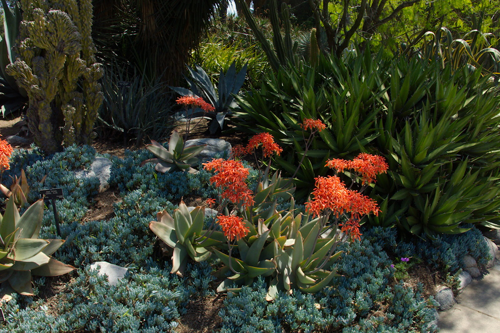 Echeveria-potosina-and-Senecio-serpens-Huntington-Gardens-2017-04-01-IMG 8147