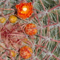 Ferocactus-pilosus-red-flowering-barrel-cactus-Huntington-Gardens-2017-04-01-IMG 4596