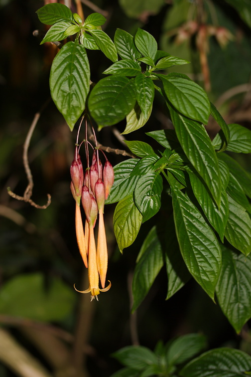 Fuchsia-sp-indet-long-orange-flowers-Huntington-Gardens-2017-04-01-IMG 4554