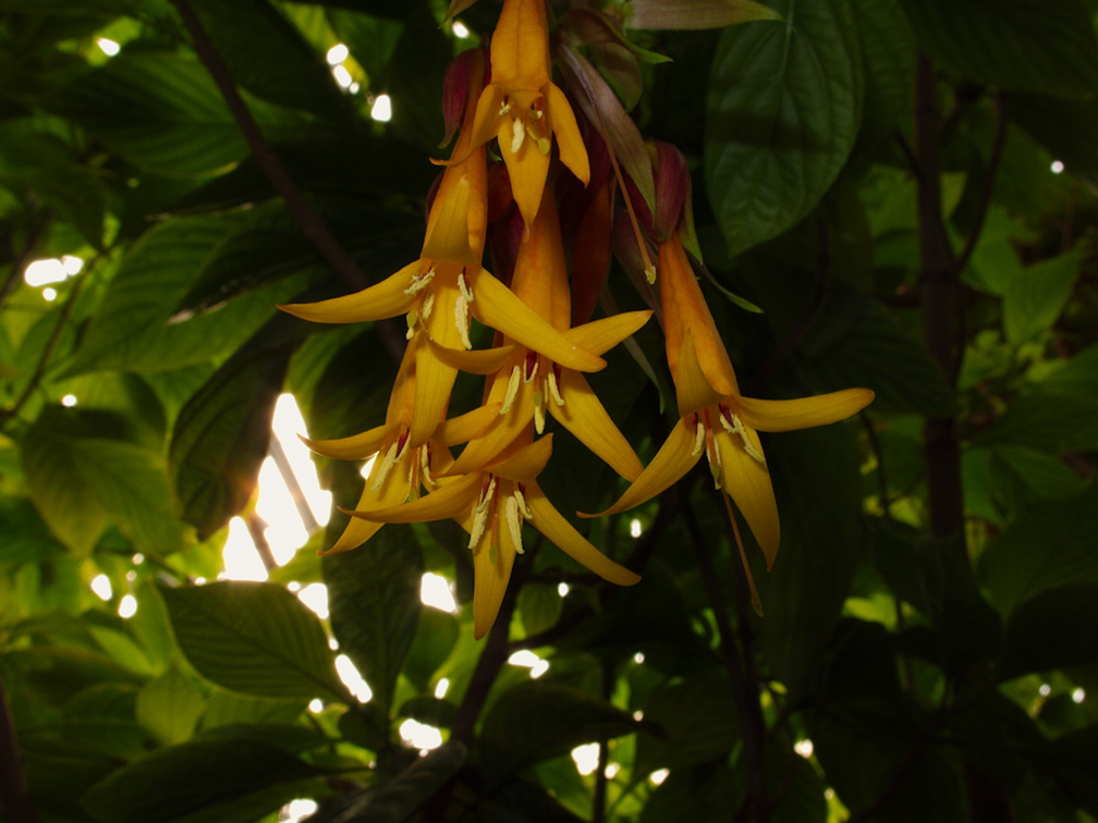 Fuchsia-sp-indet-long-orange-flowers-Huntington-Gardens-2017-04-01-IMG 8085