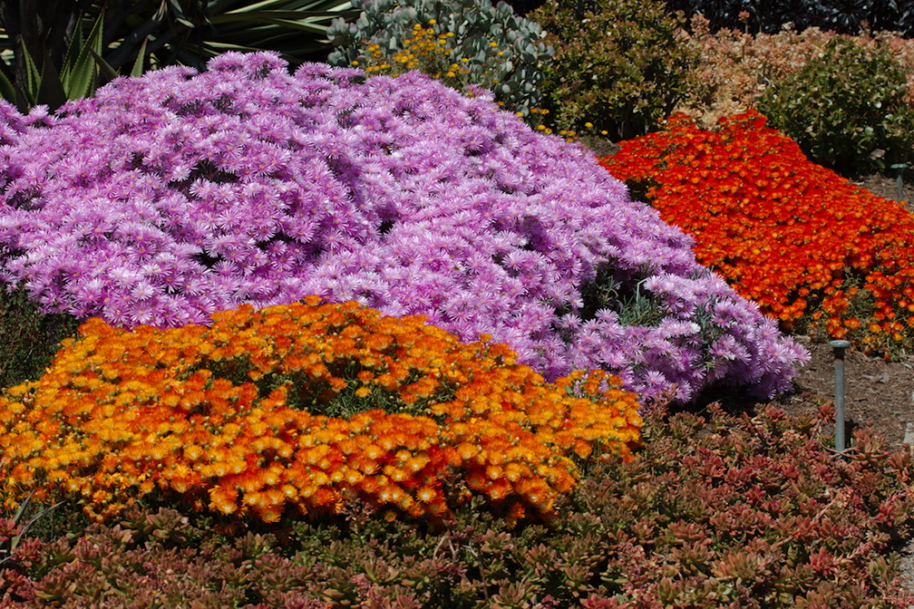 Helichrysum-sp-everlastings-in-neon-color-mounds-Huntington-Gardens-2017-04-01-IMG 4623