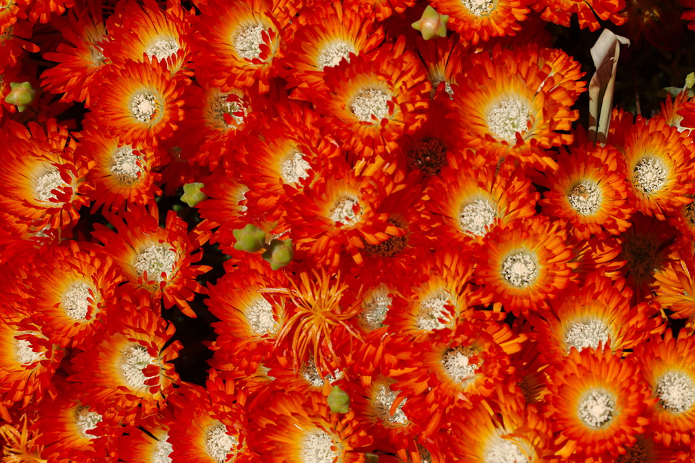 Helichrysum-sp-everlastings-in-neon-color-mounds-Huntington-Gardens-2017-04-01-IMG 4624