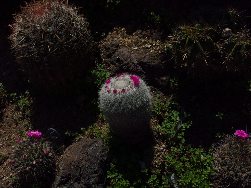 Mammillaria-geminispina-woolly-white-with-ring-of-small-magenta-flowers-Huntington-Gardens-2017-04-01-IMG 8129