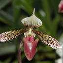 Paphiopedilum-sp-red-slipper-spotted-sepals-Huntington-Gardens-2017-04-01-IMG 4567