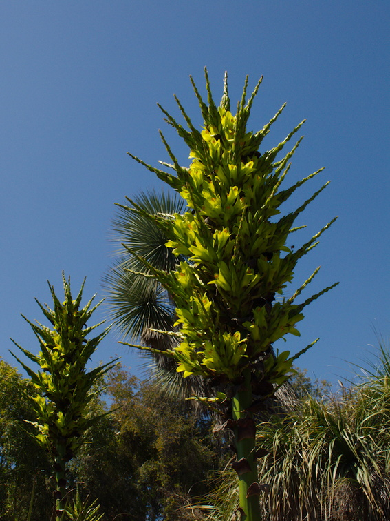 indet-yellowgreen-flowering-yucca-looking-plants-Huntington-Gardens-2017-04-01-IMG 8128
