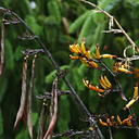 phormium-yellow-fls-fruits-2006-07-01