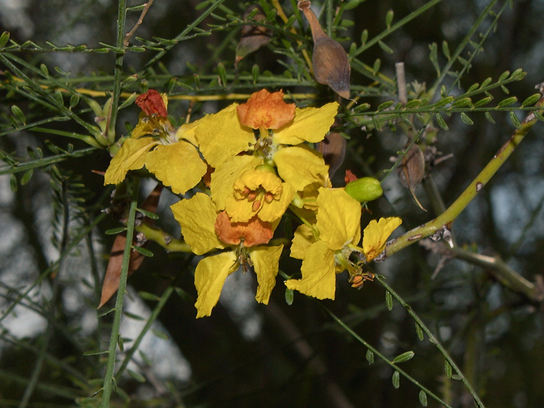 Parkinsonia-aculeata-Mexican-palo-verde-UC-Riverside-Bot-Gard-2012-08-17-IMG 6707