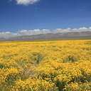 coreopsis-flowering-golden-field-Carrizo-Plain-2017-04-20-IMG-7077