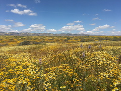 flowering-fields-tidy-tips-coreopsis-and-delphiniums-Carrizo-Plain-2017-04-20-IMG 7076