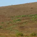 tumbleweed-Salsola-tragus-thriving-in-drought-Moorpark-2014-09-22-IMG_4163.jpg