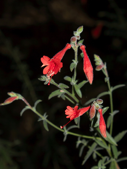 Epilobium-canum-California-fuchsia-Circle-X-ranch-2011-09-19-IMG_3372.jpg