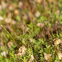 apple-green-moss-with-sporophytes-indet-Malibu-Springs-trail-2013-01-27-IMG 7259