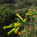 nicotiana-yellow-tree-tobacco-mugu-2008-12-08-IMG 1601