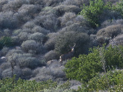 ten-point-buck-mule-deer-Chumash-trail-Pt-Mugu-2012-12-11-IMG 6848