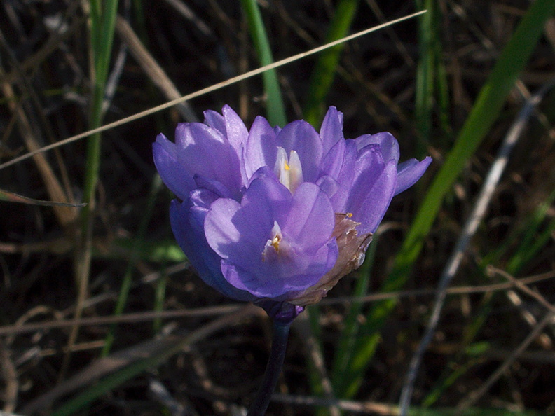 Dichelostemma-capitatum-blue-dicks-La-Jolla-waterfall-trail-2011-02-01-IMG_6993.jpg