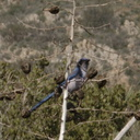 western-scrub-jay-eating-yucca-fruits-Aphelocoma-sp-Pt-Mugu-2010-01-31-IMG 3676