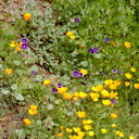 Eschscholzia-californica-California-poppies-and-Phacelia-parryi-Ray-Miller-Trail-Pt-Mugu-2017-02-25-IMG 3747
