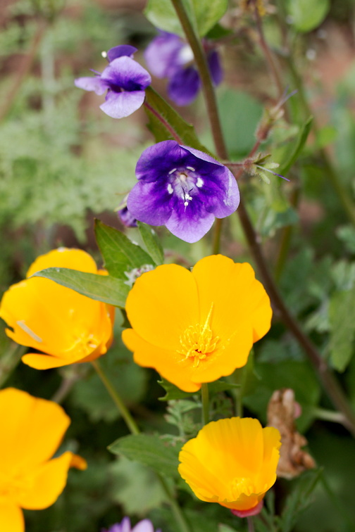 Eschscholzia-californica-California-poppies-and-Phacelia-parryi-Ray-Miller-Trail-Pt-Mugu-2017-02-25-IMG 3749