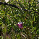 Calochortus-catalinae-mariposa-lily-unusually-red-Chumash-Trail-Pt-Mugu-2017-03-27-IMG 8037