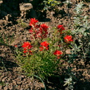 Castilleja-affinis-Indian-paintbrush-Chumash-Trail-Pt-Mugu-2017-03-27-IMG 8049