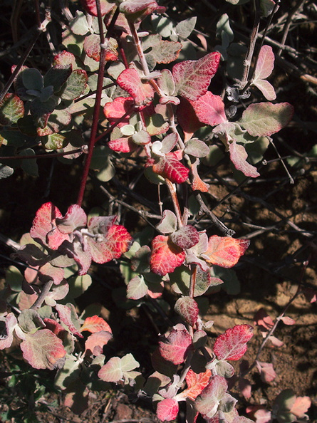 Eriogonum-cinereum-ashy-leaved-buckwheat-red-drought-leaves-Pt-Mugu-2012-03-19-IMG_1383.jpg