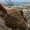 Opuntia-coast-prickly-pear-showing-fiber-structure-2014-06-16-IMG 4109