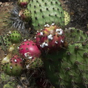 white-cochineal-scale-insects-on-red-Opuntia-fruits-2012-10-05-IMG 2807