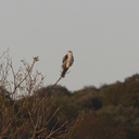 white-tailed-kite-Satwiwa-trail-Santa-Monica-Mts-2011-02-08-IMG 1705