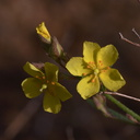 Helianthemum-scoparium-rock-rose-Sycamore-Canyon-Overlook-trail-2012-01-16-IMG 3879