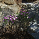 Leptodactylon-californicum-prickly-phlox-Serrano-Canyon-2011-01-25-IMG 1673