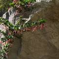 Ribes-speciosum-fuchsia-flowered-gooseberry-Serrano-canyon-trail-2011-01-25-IMG 6936