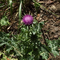 weedy-purple-thistle-Carduus-sp-at-mansion-ruins-Solstice-Canyon-2011-05-11-IMG 7791