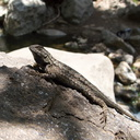 western-fence-lizard-Sceloporus-occidentalis-Solstice-Canyon-2011-05-11-IMG 7799