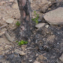 2013-08-04-Adenostoma-fasciculatum-chamise-first-stump-sprouts-Chumash-IMG 2921