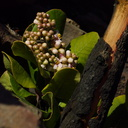 2014-02-25-Rhus-integrifolia-lemonadeberry-stump-sprout-blooming-Chumash-Trail-IMG 3220