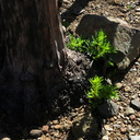 2014-03-11-Adenostoma-fasciculatum-chamise-stump-sprouting-after-rain-Chumash-Trail-IMG 3334