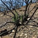 2014-03-11-Adenostoma-fasciculatum-chamise-stump-sprouting-after-rain-Chumash-Trail-IMG 3343
