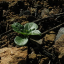 2014-03-11-Lomatium-sp-sprouting-after-rain-Chumash-Trail-IMG 3336