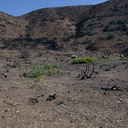 2014-03-11-invasive-grass-sprouting-after-rain-Chumash-Trail-IMG 3315