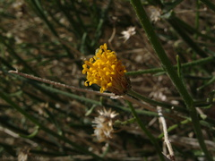 Bebbia-juncea-sweetbush-Mine-Wash-2009-03-07-IMG 2133
