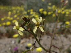 Brassica-tournefortii-asian-mustard-Malacothrix-field-Mine-Wash-2009-03-07-IMG 2141