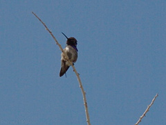 Costas-hummingbird-Visitor-Center-2009-03-07-CRW 7827