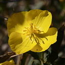 Dendromecon-rigida-bush-poppy-hwy-78-2009-03-08-CRW 7958