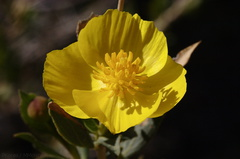 Dendromecon-rigida-bush-poppy-hwy-78-2009-03-08-CRW 7959