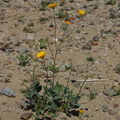 Encelia-farinosa-or-indet-brittlebush-Hawk-Canyon-2009-03-08-CRW 7947
