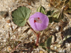Eremalche-rotundifolia-desert-five-spot-Slot-Canyon-area-2009-03-07-CRW 7860