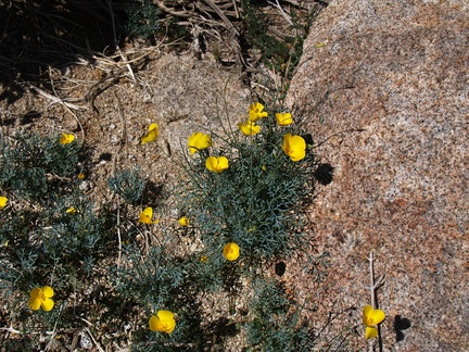 Eschscholtzia-glyptosperma-covering-rock-slope-Mine-Wash-2009-03-06-IMG 2012