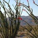 Fouquieria-splendens-ocotillo-Slot-Canyon-area-2009-03-08-IMG 2257